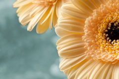 Apricot color Gerberas Macro shot Stock Photos