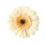 Apricot colored gerber daisy isolated Stock Photos