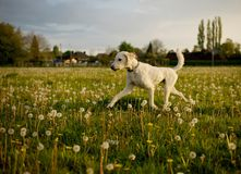 Apricot colored labradoodle outside royalty free stock photo