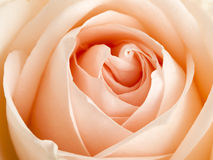 Apricot colored rose close up Stock Photos
