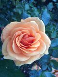 Apricot Coloured Rose Stock Photo