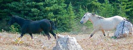 Apricot Dun Buckskin stallion and Black stallion wild horses running in the Pryor Mountains Wild Horse Range in Montana USA Royalty Free Stock Photography