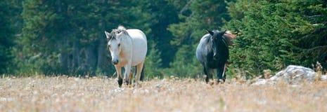 Apricot Dun Buckskin stallion and Black stallion wild horses walking in the Pryor Mountains Wild Horse Range in Montana Royalty Free Stock Image