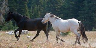 Apricot Dun Buckskin stallion and Black stallion wild horses running in the Pryor Mountains Wild Horse Range in Montana USA Royalty Free Stock Image