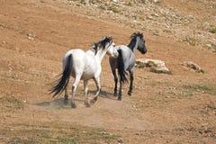 Apricot Dun Buckskin stallion and Blue Roan mare wild horses running in the Pryor Mountains Wild Horse Range in Montana. United States stock photos