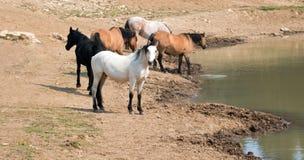 Apricot dun pale white buckskin stallion with herd of wild horses at waterhole in Pryor Mountains Wild Horse Range in Montana USA Royalty Free Stock Photo