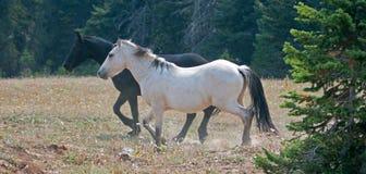 Apricot Dun White Buckskin stallion and Black stallion wild horses running in the Pryor Mountains Wild Horse Range in Montana USA Stock Photography
