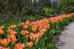 Apricot Emperer tulip bloom flowers. In a flower bed Stock Photos