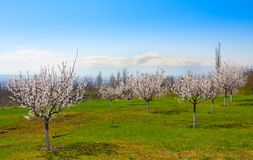 Apricot farm during sping season against Ararat in spring Armenia. Apricot farm during sping season against Ararat in spring Royalty Free Stock Photography