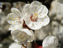 Apricot Flower Stock Photography
