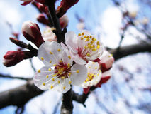Apricot Flower Royalty Free Stock Images