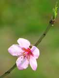 Apricot flower Royalty Free Stock Image