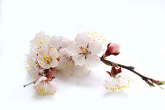 Apricot flower Royalty Free Stock Photography