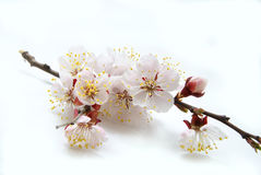 Apricot flower Royalty Free Stock Photos
