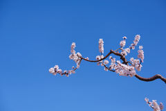 Apricot flower Stock Image