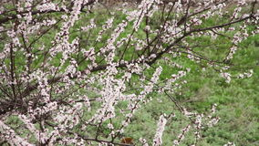 Apricot Flower Blooming in Spring. Apricot Flower Blooming. White flowers on the branches of the apricot tree blossomed in the spring on a nature. Full HD 1920 x stock video