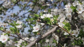 Apricot Flower Blooming in Spring. Apricot Flower Blooming. White flowers on the branches of the apricot tree blossomed in the spring on a nature. Full HD 1920 x stock video footage