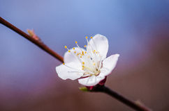 Apricot flower Royalty Free Stock Photo