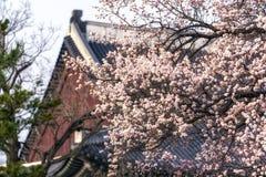 Apricot flower tree in gyeongbok palace. Apricot flower blossom tree in gyeongbok palace. In the background is gyeonghoeru pavilion in seoul, south korea Stock Photos