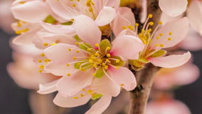 Apricot flower blossoming. Timelapse video of an Apricot flower blooming on a dark background