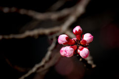 Apricot flower buds Royalty Free Stock Photo