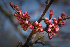 Apricot flower buds Royalty Free Stock Images
