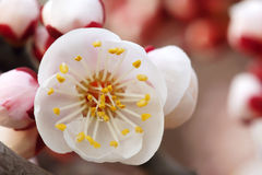 Apricot flower. The close-up of apricot flower stock image