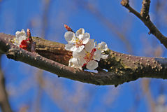 Apricot flower. Detail of blooming apricot tree and blue sky on the background Stock Photography
