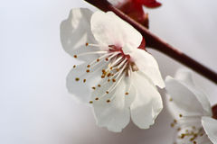 Apricot flower. Stock Photos