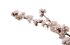 Apricot flower isolated stock image