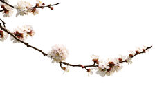 Apricot flower isolated royalty free stock image