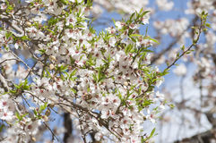 Apricot flower in Leh Royalty Free Stock Photos