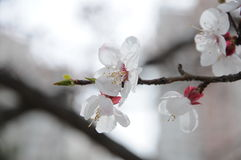 Apricot Flower. In park very beautiful royalty free stock photo