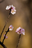 Apricot flower Stock Images