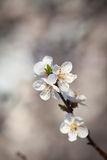 Apricot flower. Spring apricot flower on a gray background whith boke royalty free stock photo
