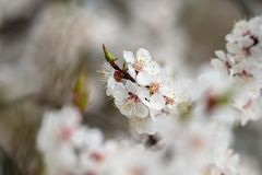 Apricot flower spring nature close up macro. Awekening life stock image