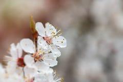 Apricot flower spring nature close up macro. Awekening life royalty free stock images