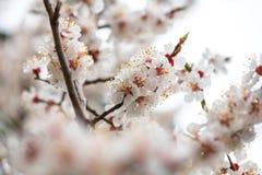 Apricot flower spring nature close up macro. Awekening life stock photography
