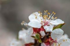 Apricot flower spring nature close up macro. Awekening life royalty free stock photo