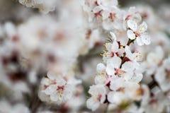 Apricot flower spring nature close up macro. Awekening life stock photos