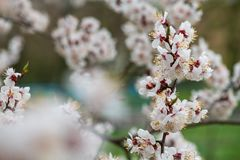 Apricot flower spring nature close up macro. Awekening life royalty free stock photos