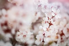 Apricot flower spring nature close up macro. Awekening life royalty free stock photography