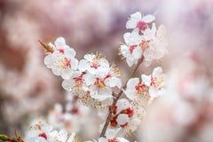 Apricot flower spring nature close up macro. Awekening life stock images