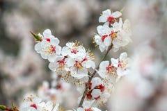 Apricot flower spring nature close up macro. Awekening life royalty free stock image