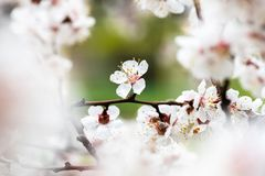 Apricot flower spring nature close up macro. Awekening life stock photo