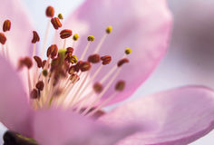 The apricot flower. royalty free stock images