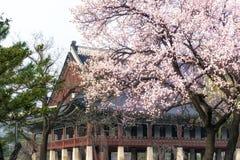 Apricot flower tree in gyeongbok palace. Apricot flower blossom tree in gyeongbok palace. In the background is gyeonghoeru pavilion in seoul, south korea Stock Photography