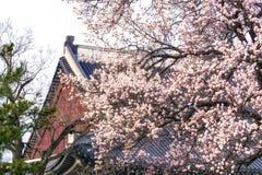 Apricot flower tree in gyeongbok palace. Apricot flower blossom tree in gyeongbok palace. In the background is gyeonghoeru pavilion in seoul, south korea Royalty Free Stock Photography