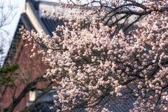Apricot flower tree in gyeongbok palace. Apricot flower blossom tree in gyeongbok palace. In the background is gyeonghoeru pavilion in seoul, south korea Royalty Free Stock Photo
