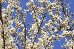 Apricot Flowering Stock Photo